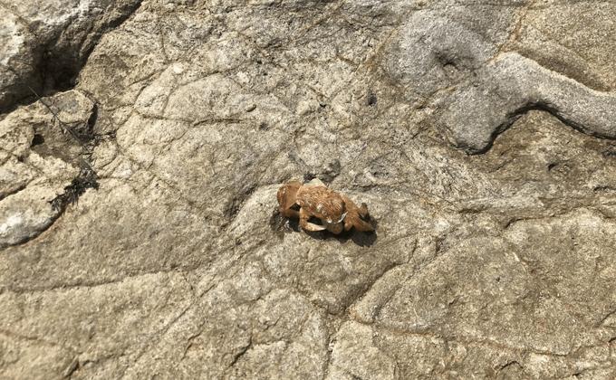 岩場のカニ